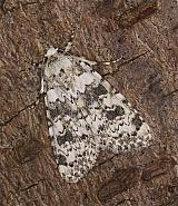 73.084 Marbled Beauty, Cryphia domestica