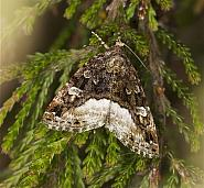 Eustrotiinae: Marbled White Spot, Silver Hook & Silver Barred (73.024-73.027)