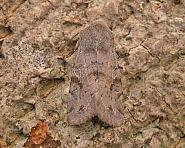 73.242 Clouded Drab, Orthosia incerta, Co Wicklow