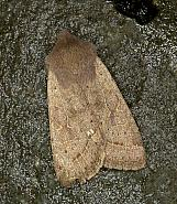 73.244 Common Quaker, Orthosia cerasi, Co Louth