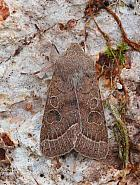 Common Quaker, Orthosia cerasi, Co Leitrim
