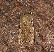73.245 Small Quaker, Orthosia cruda, Co Louth
