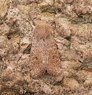 73.245 Small Quaker, Orthosia cruda, Co Wexford
