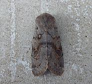 73.246 Lead-coloured Drab, Orthosia populeti, Co. Fermanagh