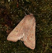 73.247 Powdered Quaker, Orthosia gracilis, Co Louth