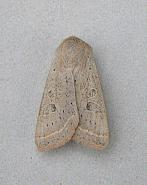 73.247 Powdered Quaker, Orthosia gracilis, Co Wicklow