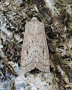 Powdered Quaker, Orthosia gracilis, Co Leitrim