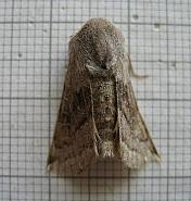 73.248 Northern Drab, Orthosia opima, Co Donegal
