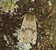 73.250 Twin-spotted Quaker, Orthosia munda, Co Louth
