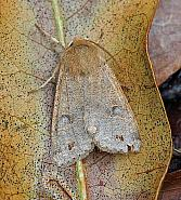 Twin-spotted Quaker, Orthosia munda, Co Leitrim