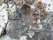 73.252 Hedge Rustic, Tholera cespitis, Co. Meath