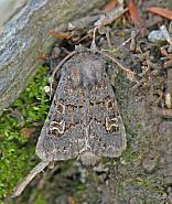 73.252 Hedge Rustic, Tholera cespitis, Co Wexford