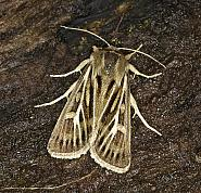 73.254 Antler Moth, Cerapteryx graminis, Co Louth