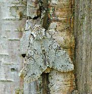 73.261 Grey Arches, Polia nebulosa, Co Wexford