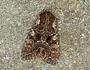 73.264 Pale-shouldered Brocade, Lacanobia thalassina, Co Louth