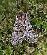 Pale-shouldered Brocade, Lacanobia thalassina, Co Donegal