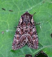 Pale-shouldered Brocade, Lacanobia thalassina, Co Leitrim
