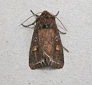 73.267 Bright-line Brown-eye, Lacanobia oleracea, Co Wicklow
