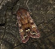 Broom Moth, Melanchra pisi, Co Louth