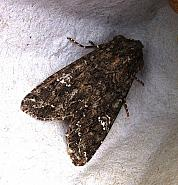 73.274 Cabbage Moth, Mamestra brassicae, Co Cork
