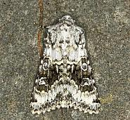 73.279 Broad-barred White, Hecatera bicolorata, Co Louth