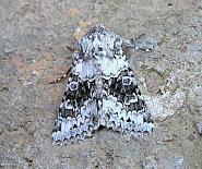 73.279 Broad-barred White, Hecatera bicolorata, Co Wicklow