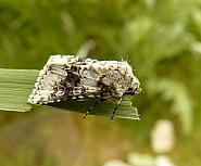 73.279 Broad-barred White, Hecatera bicolorata, Co Cork