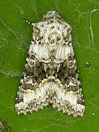 73.279 Broad-barred White, Hecatera bicolorata, Co. Wicklow