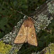 73.290 Brown-line Bright Eye, Mythimna conigera, Co Louth