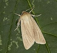 73.291 Common Wainscot, Mythimna pallens, Co Louth