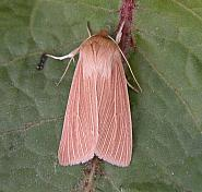 73.291 Common Wainscot, Mythimna pallens, Co Wicklow