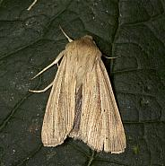 73.293 Smoky Wainscot, Mythimna impura, Co Louth