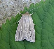 73.293 Smoky Wainscot, Mythimna impura, Co Wicklow