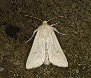 73.295 Delicate, Mythimna vitellina, Co Louth