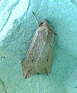 73.296 White-speck Mythimna unipuncta, Co Cork