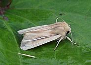 Shore Wainscot, Mythimna litoralis, Co Donegal