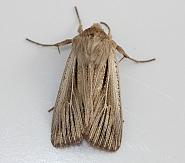 73.301 Shoulder-striped Wainscot, Leucania comma, Co Down