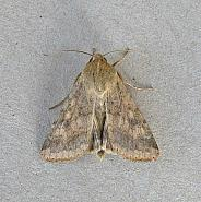 73.076 Scarce Bordered Straw, Helicoverpa armigera