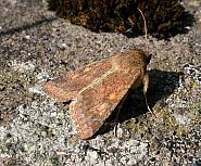 73.076 Scarce Bordered Straw, Helicoverpa armigera, Co. Cork