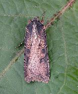 73.307 Pearly Underwing Peridroma saucia, Co Cork