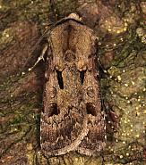 73.317 Heart and Dart, Agrotis exclamationis, Co Louth