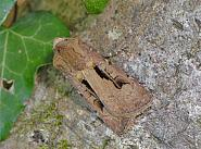 73.317 Heart and Dart, Agrotis exclamationis, Co Wexford