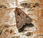 73.317 Heart and Dart, Agrotis exclamationis, Co Wicklow