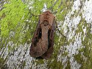 73.317 Heart and Dart, Agrotis exclamationis