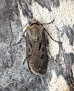 Heart and Dart, Agrotis exclamationis, Co.Leitrim