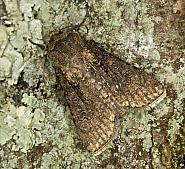 73.319 Turnip Moth, Agrotis segetum, Co Louth