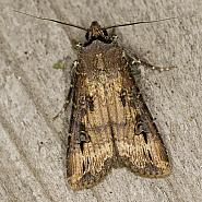 73.327 Dark Sword-grass, Agrotis ipsilon, Co Louth
