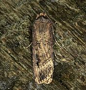 Dark Sword-grass, Agrotis ipsilon, Co Louth