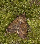 73.331 Barred Chestnut, Diarsia dahlii, Co. Louth