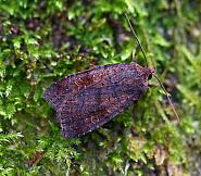 Barred Chestnut, Diarsia dahlii, Co. Donegal